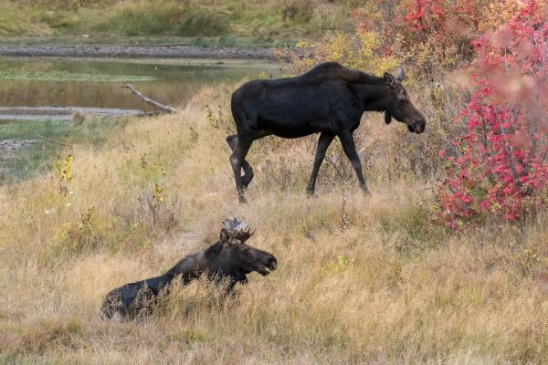 Bull and Cow Moose - Wildlife Photography