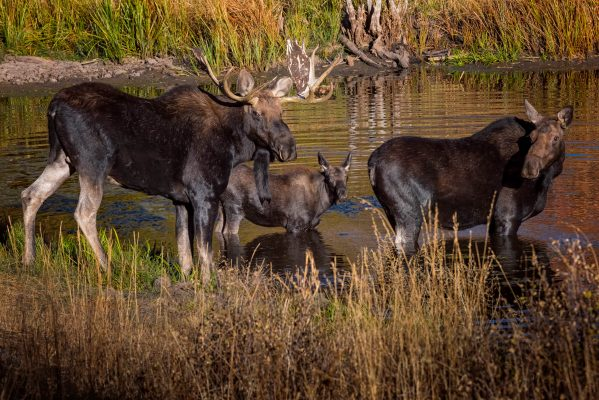 Bull, Cow and Calf Moose - Wildlife Photography