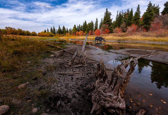 Moose - Wildlife Photography