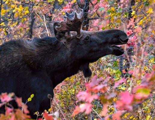 Bull Moose - Wildlife Photography